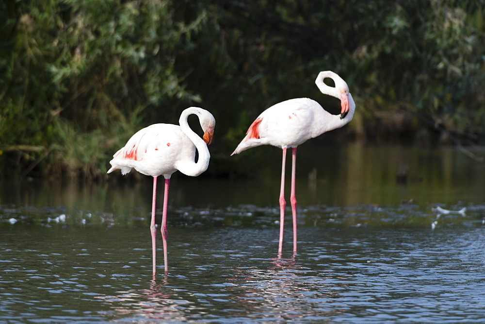 Greater flamingo (Phoenicopterus roseus), Camargue, Provence-Alpes-Cote d'Azur, France, Europe