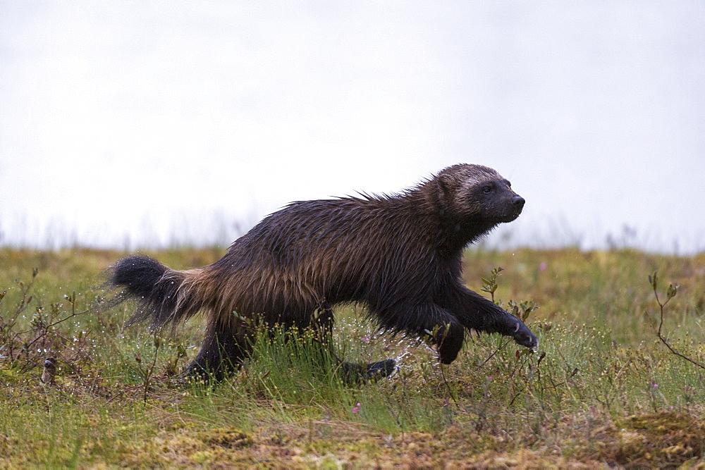 Wolverine (Gulo gulo), Kuhmo, Finland, Scandinavia, Europe