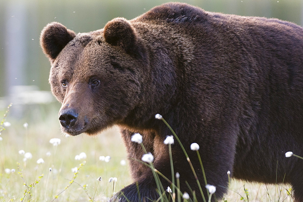 European brown bear (Ursus arctos), Kuhmo, Finland, Scandinavia, Europe
