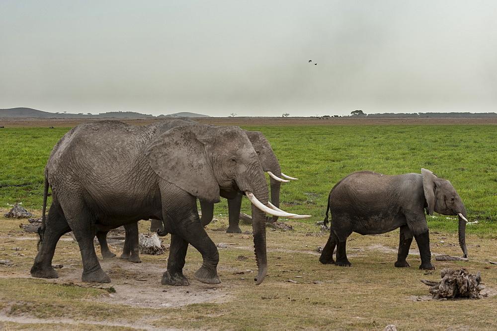 African elephants (Loxodonta africana), Amboseli National Park, Kenya, East Africa, Africa