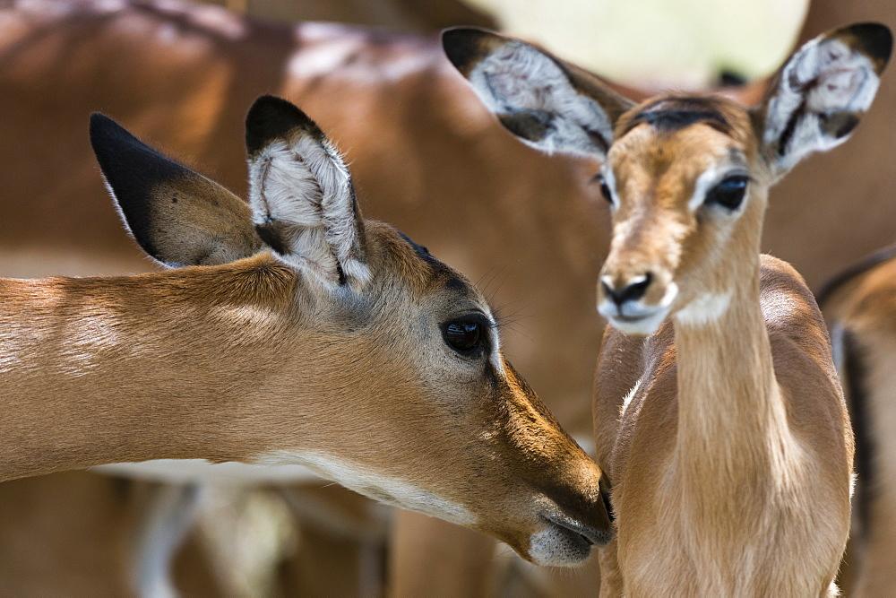 Impala (Aepyceros melampus), Lake Nakuru National Park, Kenya, East Africa, Africa - 741-5088