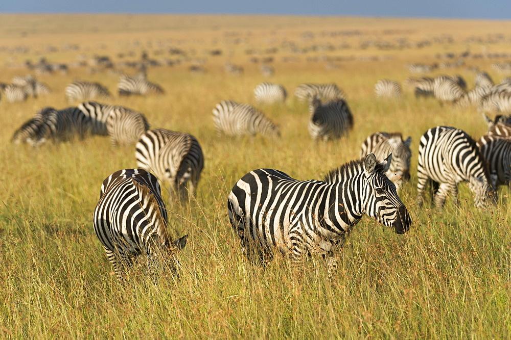 Plains zebras (Equus quagga), Masai Mara, Kenya, East Africa, Africa