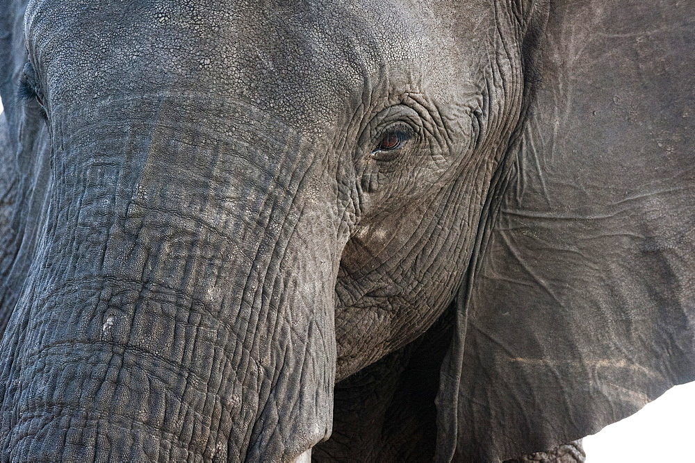 A close-up portrait on an African elephant (Loxodonta africana), Chobe National Park, Botswana, Africa