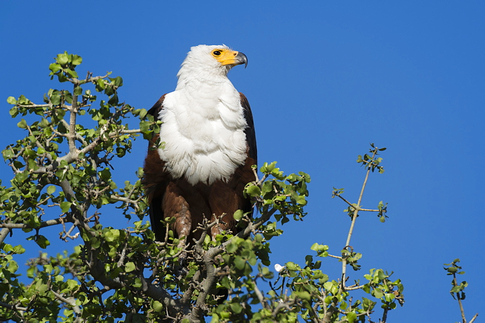 An African fish eagle (Haliaeetus vocifer), perching on a tree top, Chobe National Park, Botswana, Africa