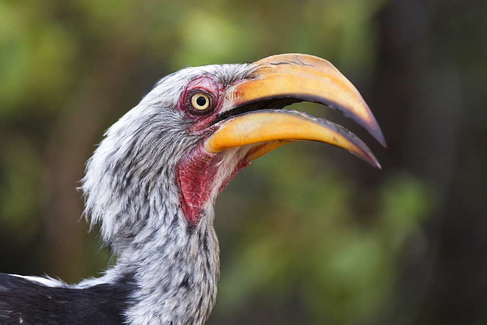 Close-up portrait of an eastern yellow-billed hornbill (Tockus flavirostris), Khwai Concession, Okavango Delta, Botswana, Africa