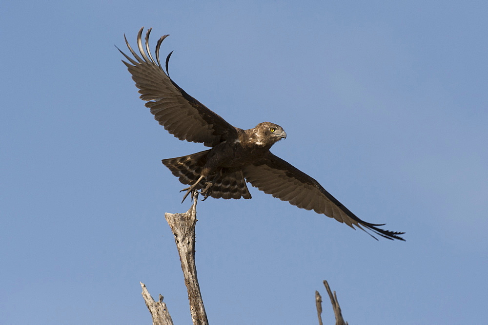 A kite in flight, Khwai Concession, Okavango Delta, Botswana, Africa