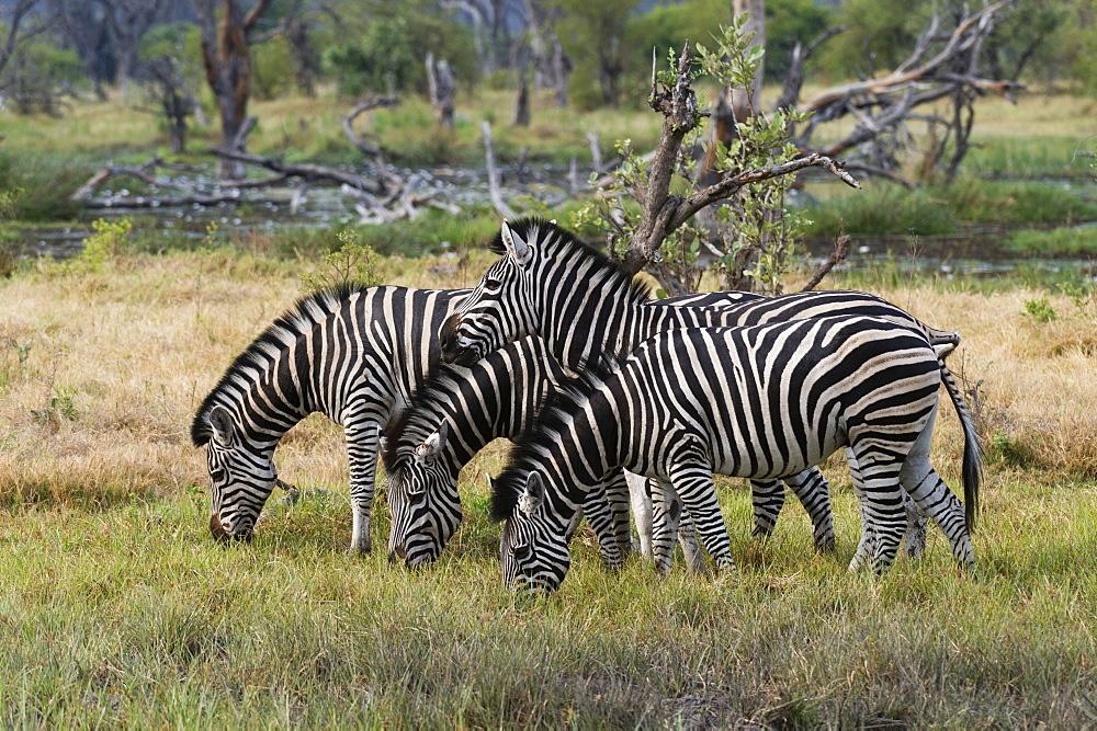 Burchell's zebra (Equus burchellii), Khwai Concession, Okavango Delta, Botswana, Africa