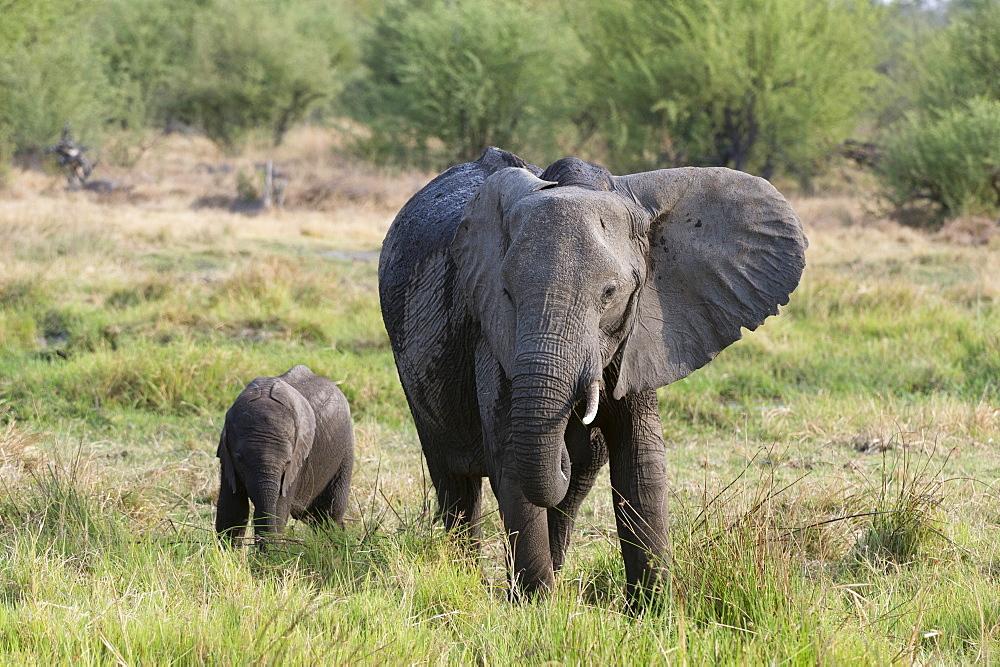 An African elephant, Loxodonta africana, with its calf, Khwai concession, Okavango delta, Botswana.