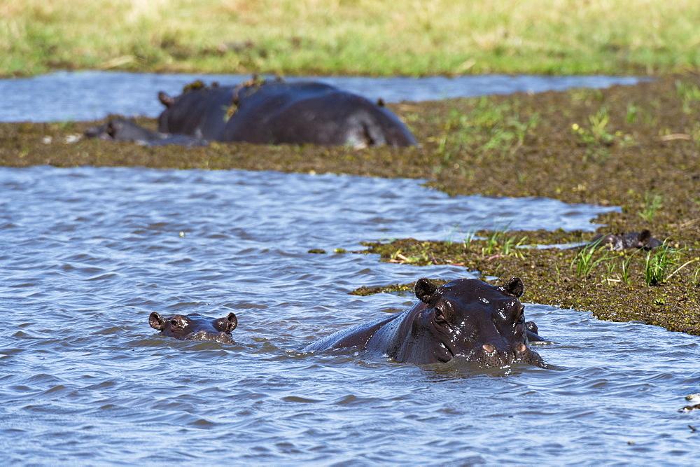 Hippopotamus (Hippopotamus amphibius) in the River Khwai, Khwai Concession, Okavango Delta, Botswana, Africa
