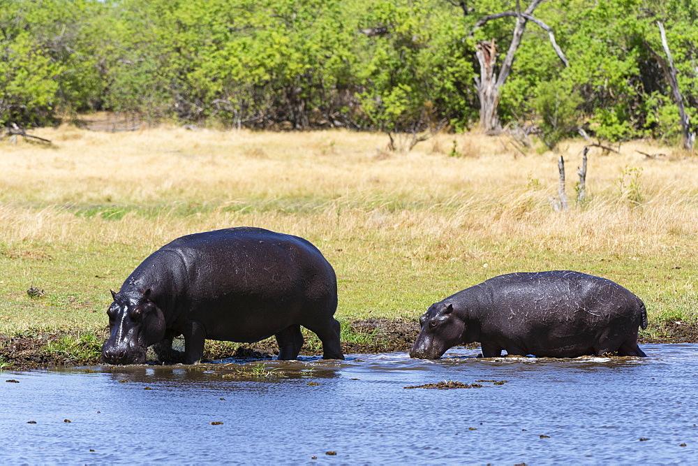 Hippopotamus (Hippopotamus amphibius), Khwai Concession, Okavango Delta, Botswana, Africa