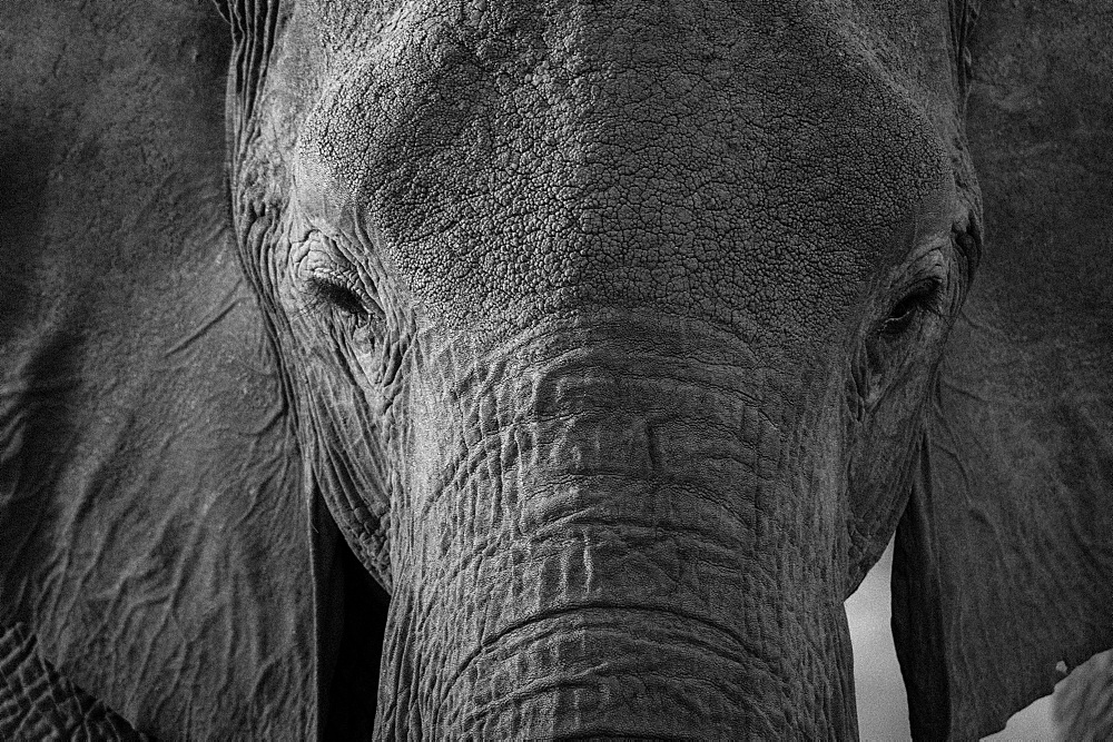 Close-up portrait of an African elephant (Loxodonta africana), Khwai Concession, Okavango Delta, Botswana, Africa