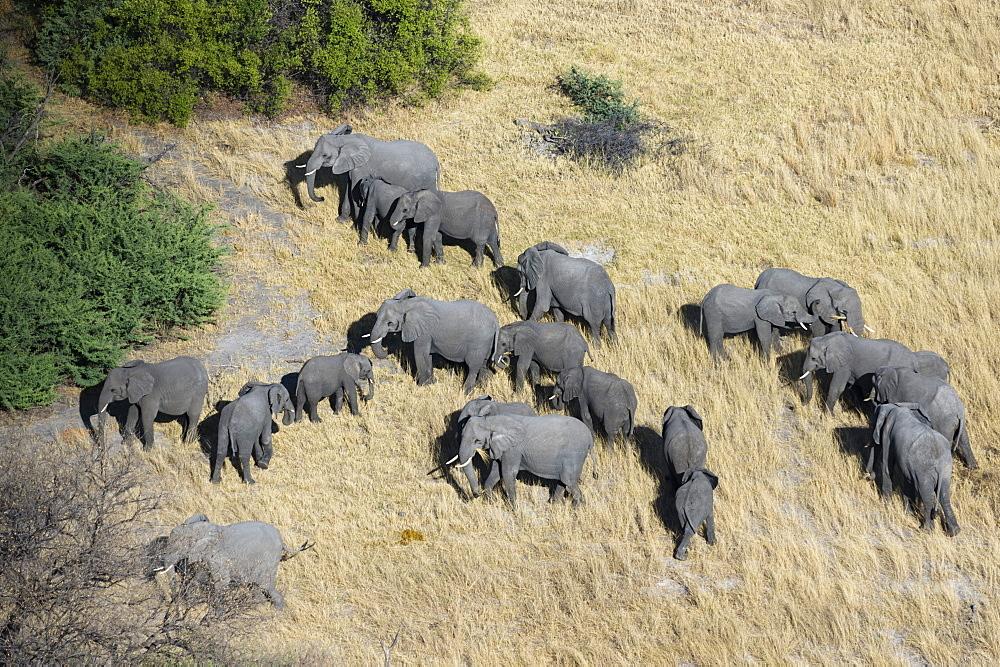 Aerial view of African elephants (Loxodonta africana), Okavango Delta, Botswana, Africa