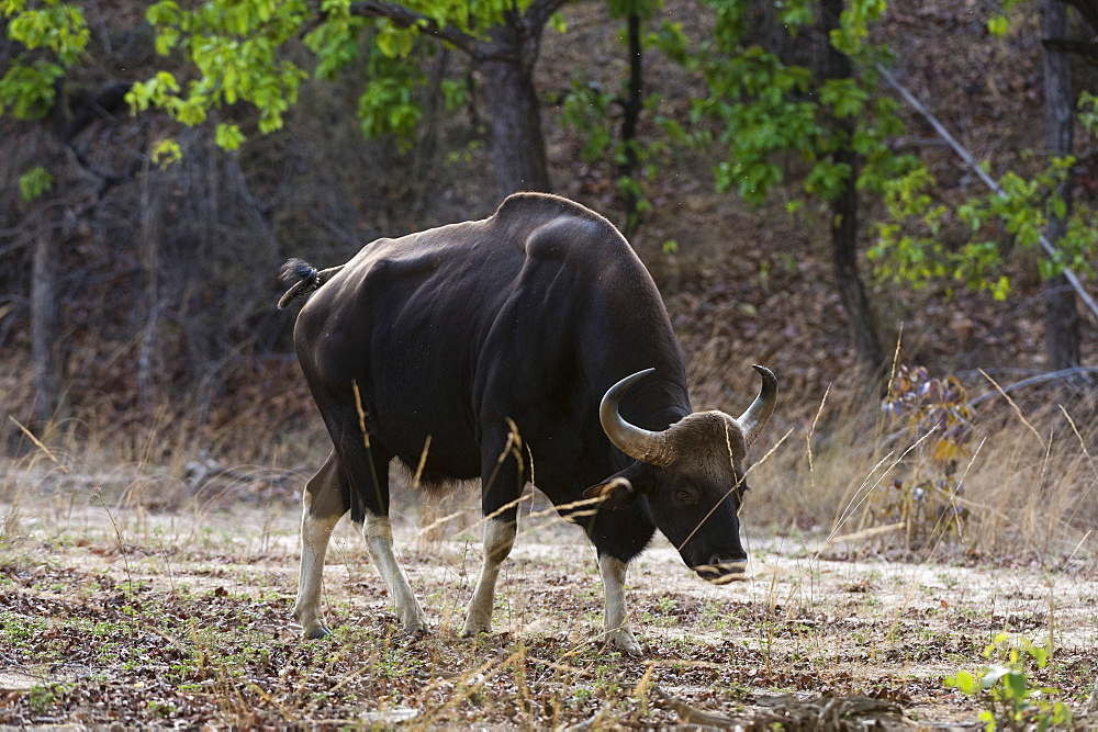 An Indian bison (bos gaurus bandhavgarh) walking, Bandhavgarh National Park, Madhya Pradesh, India, Asia