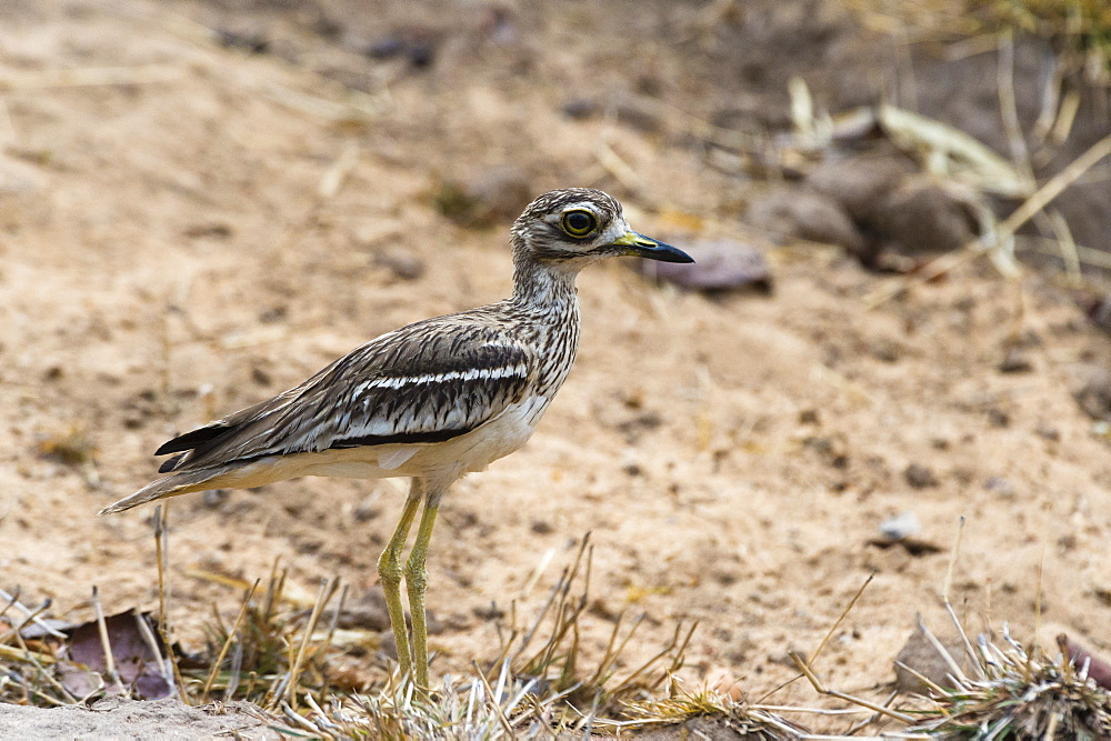 Indian thick-knee (Burhinus indicus), Bandhavgarh National Park, Madhya Pradesh, India, Asia