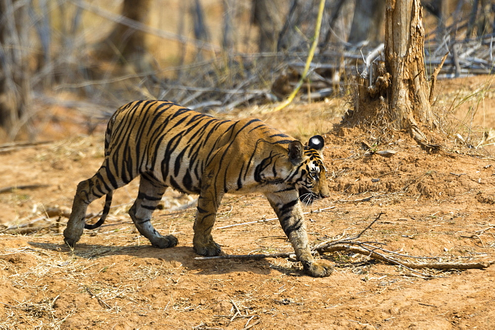 A Bengal tiger (Panthera tigris tigris) walking, Bandhavgarh National Park, Madhya Pradesh, India, Asia