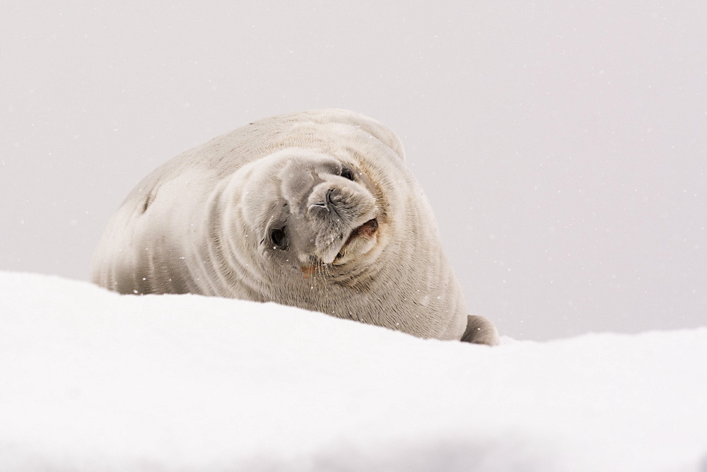Crabeater seal (Lobodon carcinophaga), Portal Point, Antarctica, Polar Regions