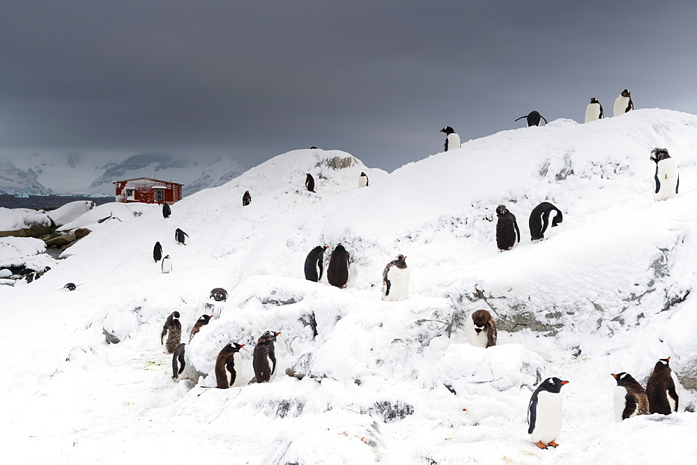 A Gentoo penguin colony (Pygoscelis papua) near Groussac Argentinian hut, Petermann Island, Antarctica, Polar Regions