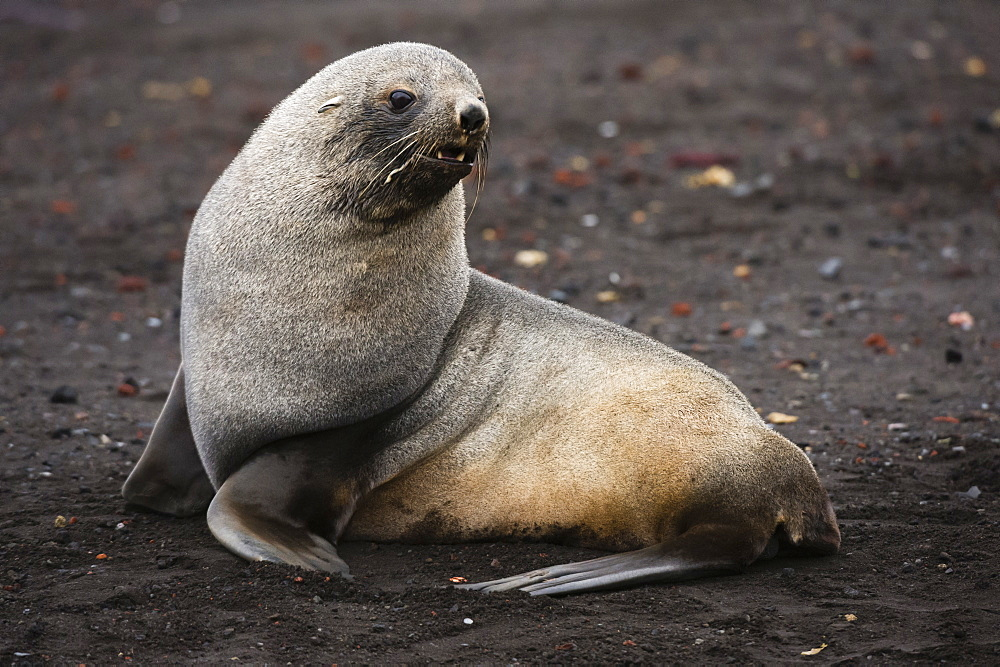 Portrait of an Antarctic fur seal (Arctocephalus gazella), Deception Island, Antarctica, Polar Regions
