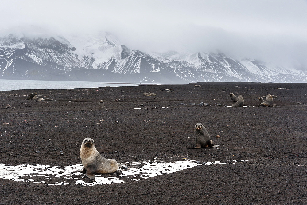 Antarctic fur seals (Arctocephalus gazella) on the beach, Deception Island, Antarctica, Polar Regions