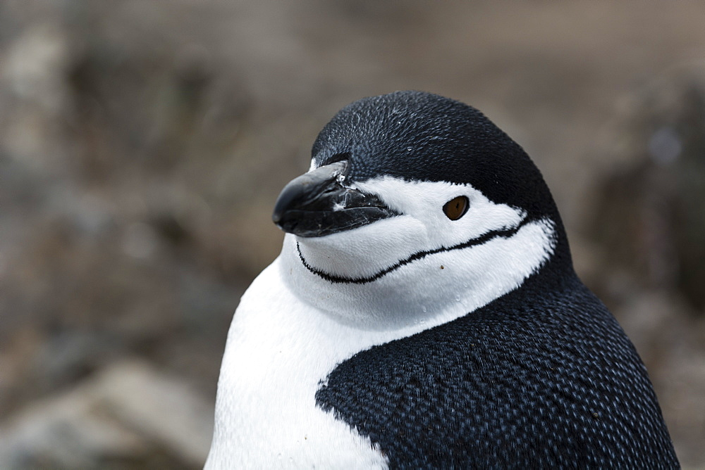 Close up portrait of a chinstrap penguin (Pygoscelis antarcticus), Half Moon Island, Antarctica, Polar Regions