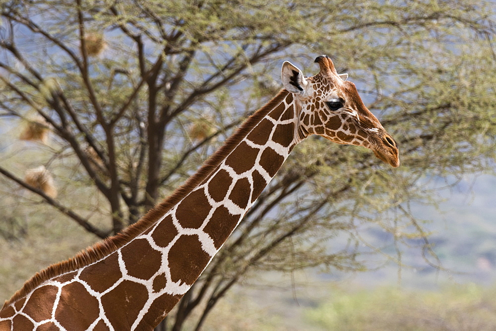 A portrait of a reticulated giraffe (Giraffa camelopardalis reticulata), Kalama Conservancy, Samburu, Kenya, East Africa, Africa