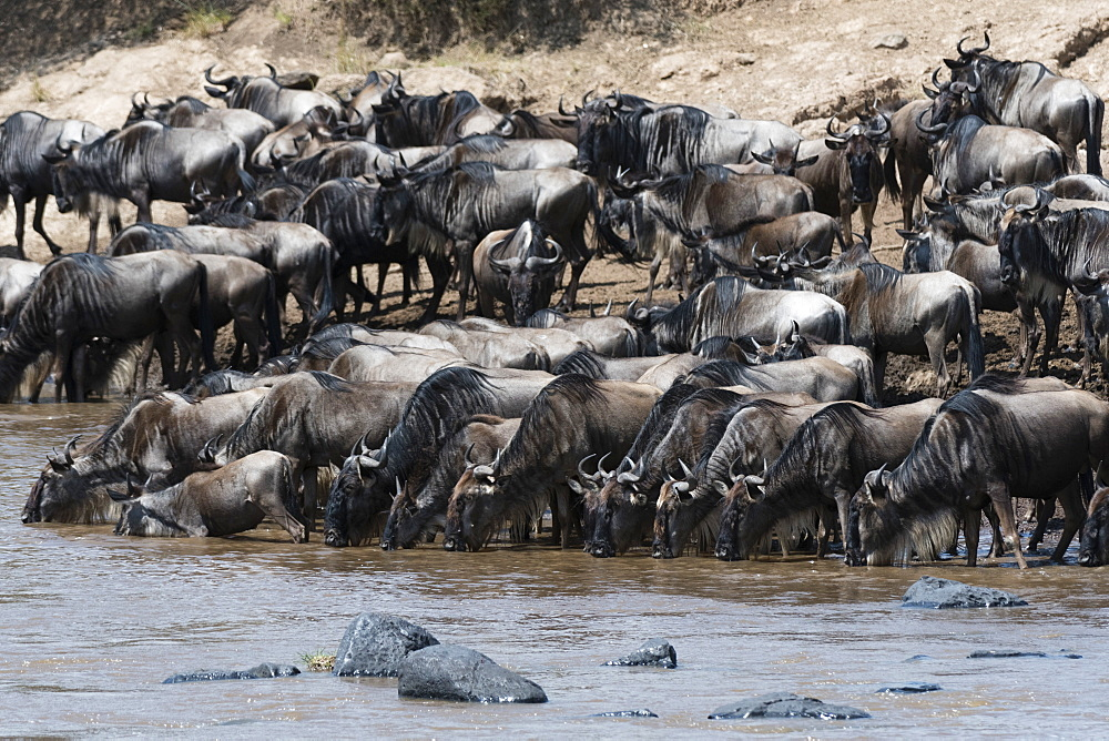 Eastern white-bearded wildebeest (Connochaetes taurinus albojubatus) on the Mara River bank, Masai Mara, Kenya, East Africa, Africa