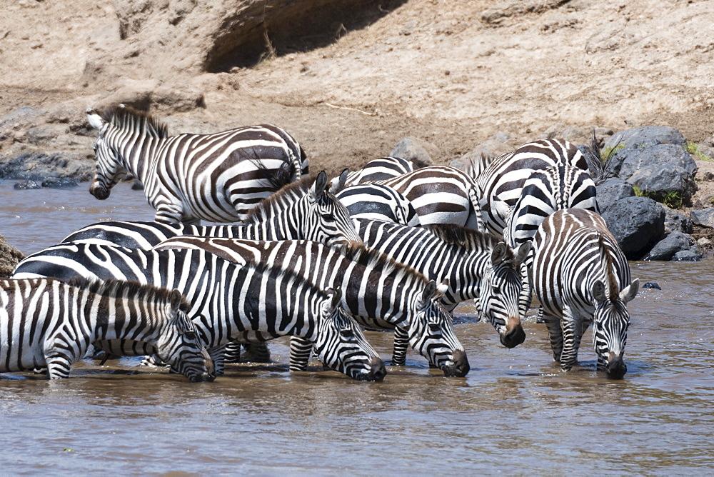 Grant's zebras (Equus burchellii boehmi) crossing the Mara River, Masai Mara, Kenya, East Africa, Africa