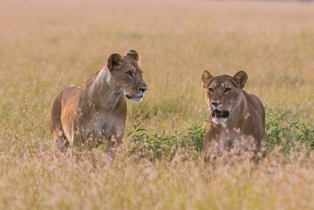 Portrait of two lionesses (Panthera leo) in the savannah, Masai Mara, Kenya, East Africa, Africa