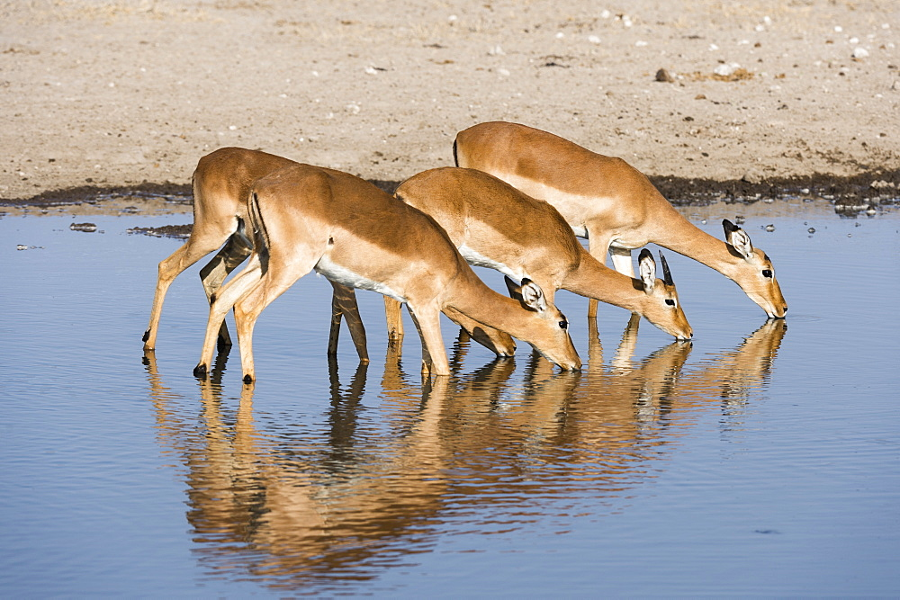 Four impala females (Aepyceros melampus) drinking, Botswana, Africa