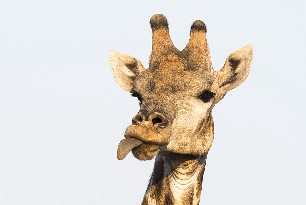 Portrait of a southern giraffe (Giraffa camelopardalis), Kalahari, Botswana, Africa