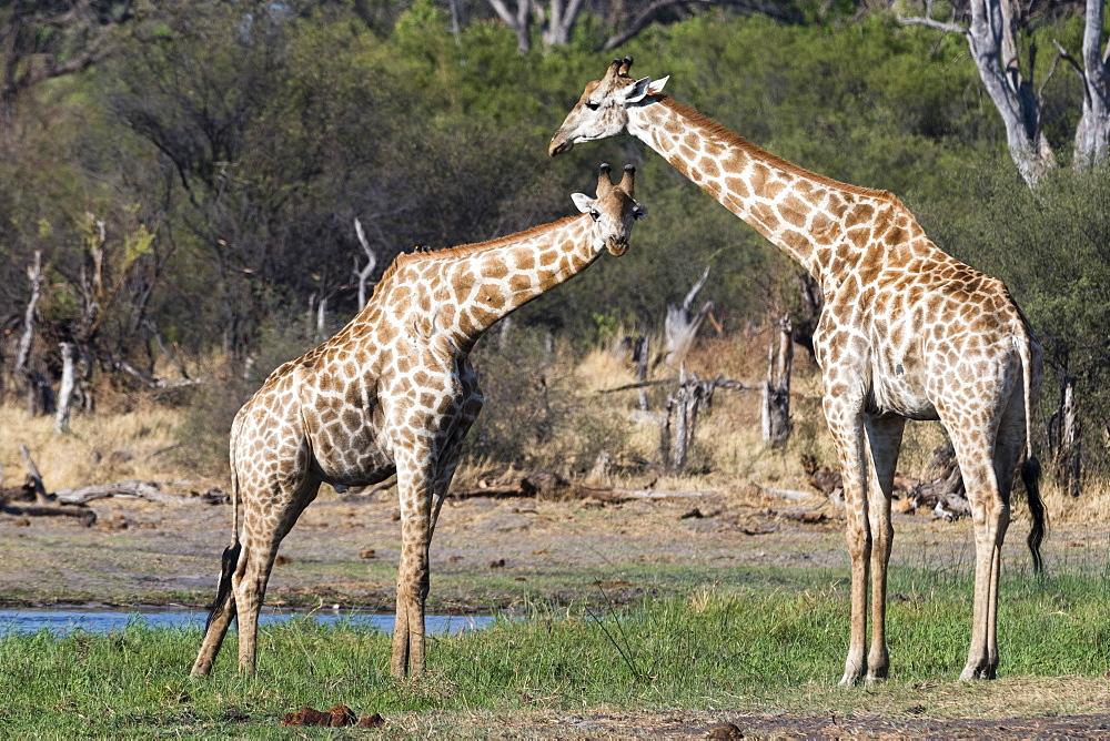 Two southern giraffes, Giraffa camelopardalis, on the Khwai river bank. - 741-5260