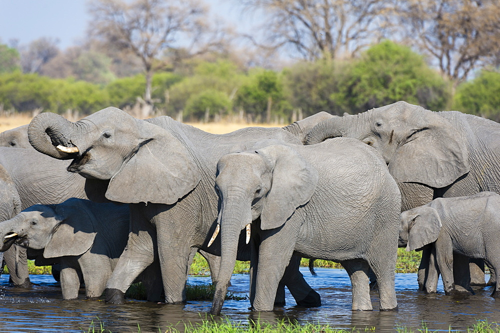 African elephants, Loxodonta africana, drinking in the river Khwai - 741-5264