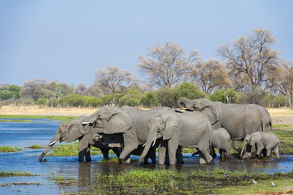 African elephants (Loxodonta africana) drinking in the River Khwai, Botswana, Africa