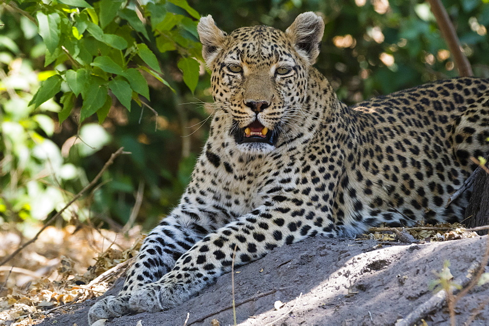 A leopard, Panthera pardus, resting in the shade - 741-5267