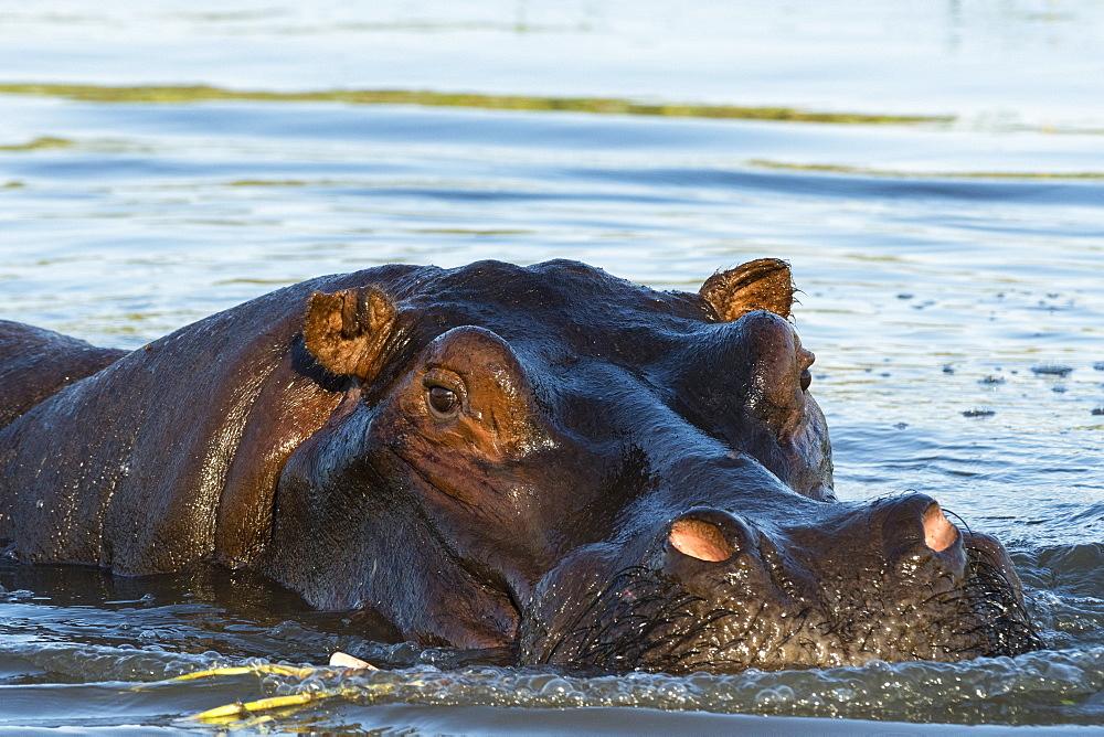 A hippopotamus (Hippopotamus amphibius), in the Okavango Delta looking at the camera, Botswana, Africa