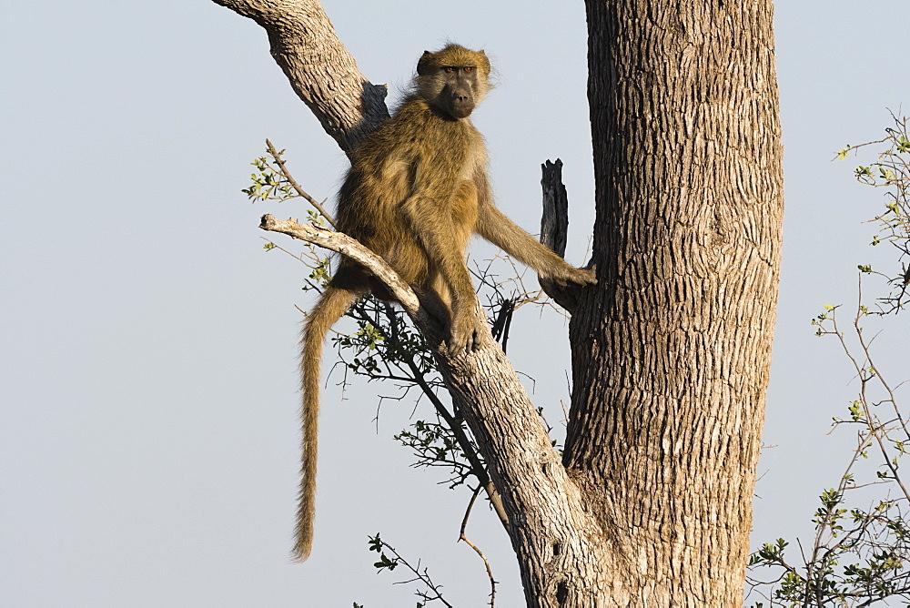 A chacma baboon (Papio hamadryas ursinus) on a tree, Botswana, Africa