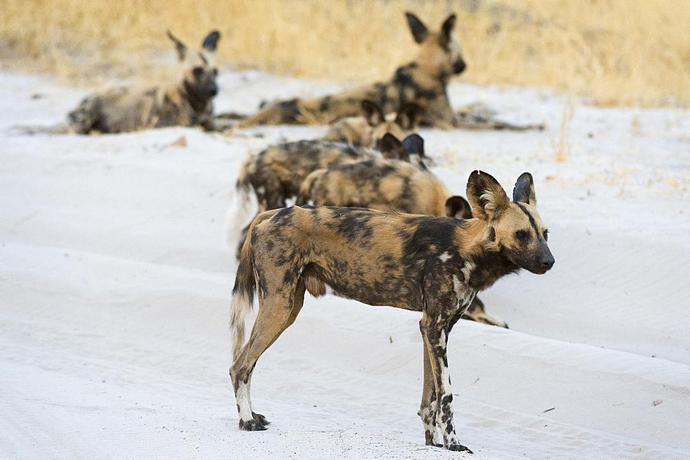 African wild dog (Lycaon pictus), Savuti, Chobe National Park, Botswana, Africa