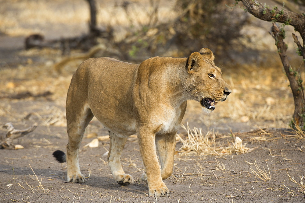 A lioness (Panthera leo) walking, Botswana, Africa