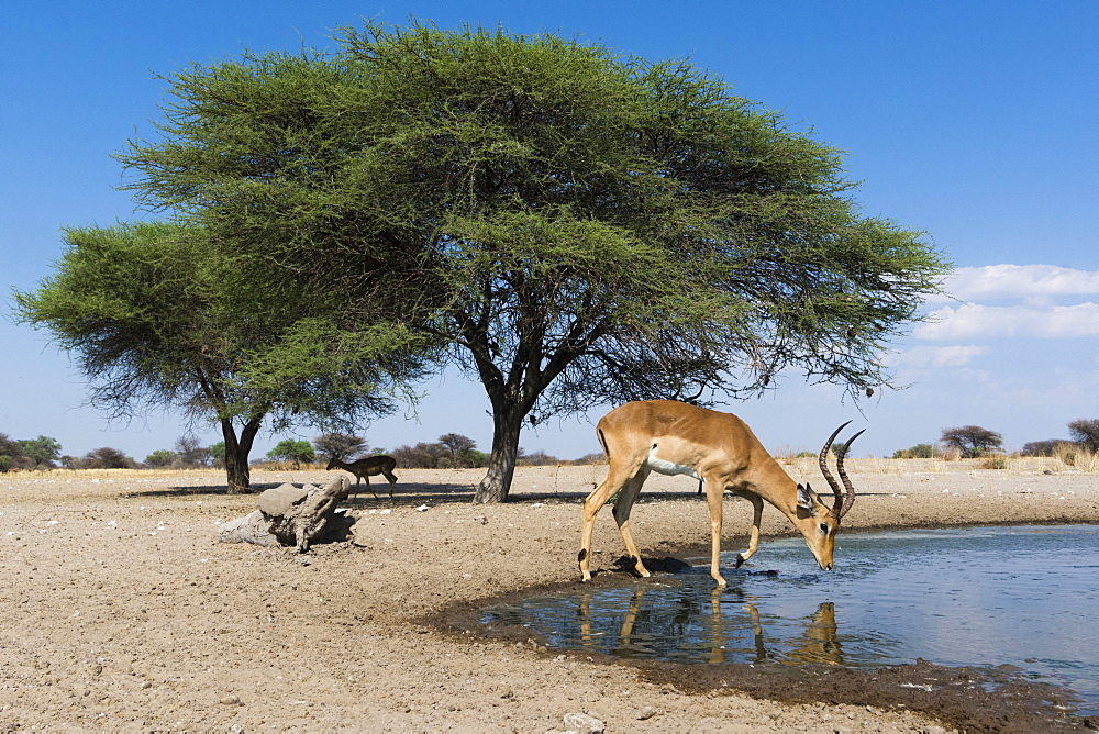 Remote camera image of an impala (Aepyceros melampus) drinking at waterhole, Botswana, Africa