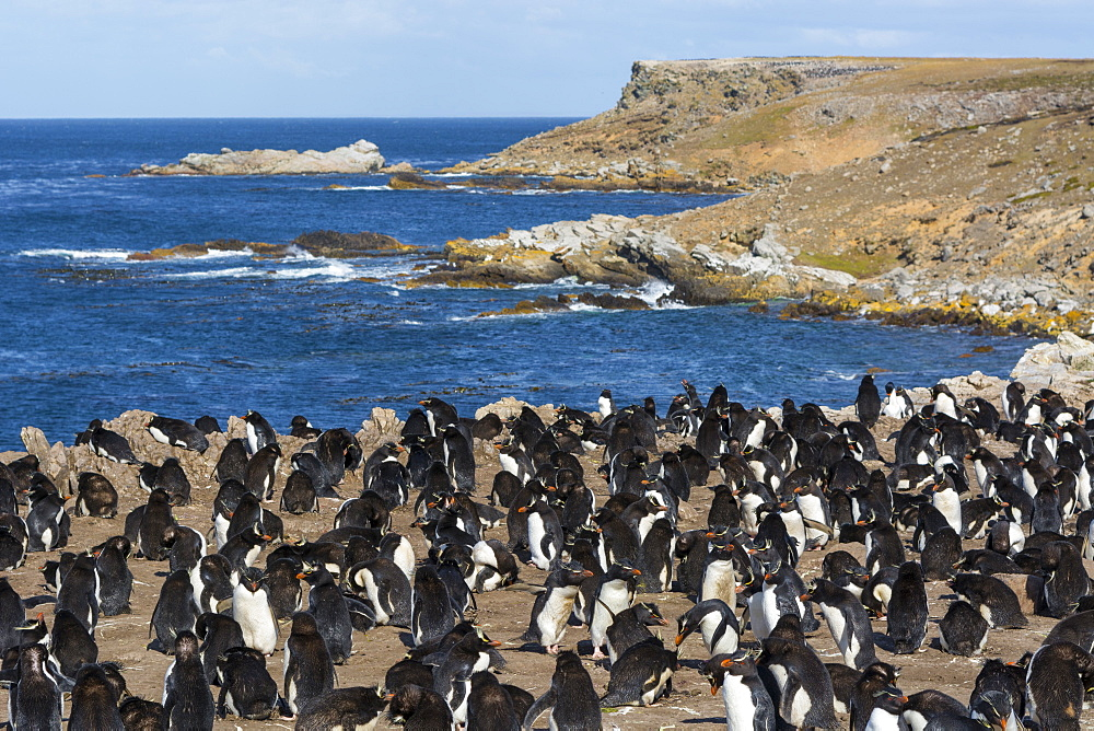 Rockhopper penguin colony (Eudyptes chrysocome), Falkland Islands, South America