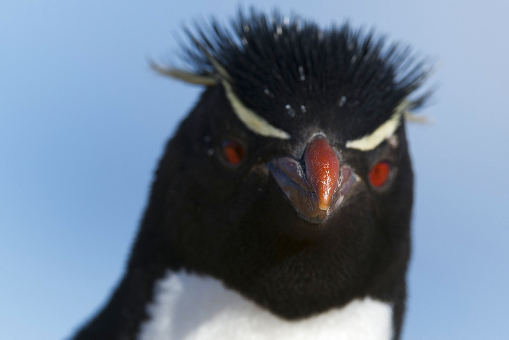 Close up portrait of a Rockhopper penguin, Eudyptes chrysocome.