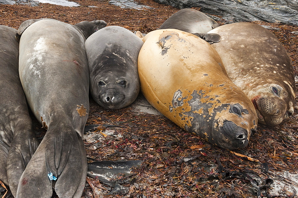 Southern elephant seals (Mirounga leonina) resting on a beach, Falkland Islands, South America