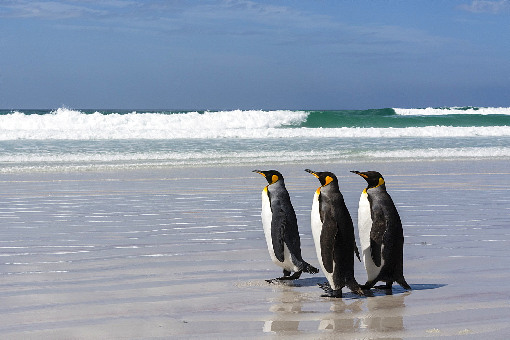 Three King penguins, Aptenodytes patagonica, walking on Volunteer Point beach.