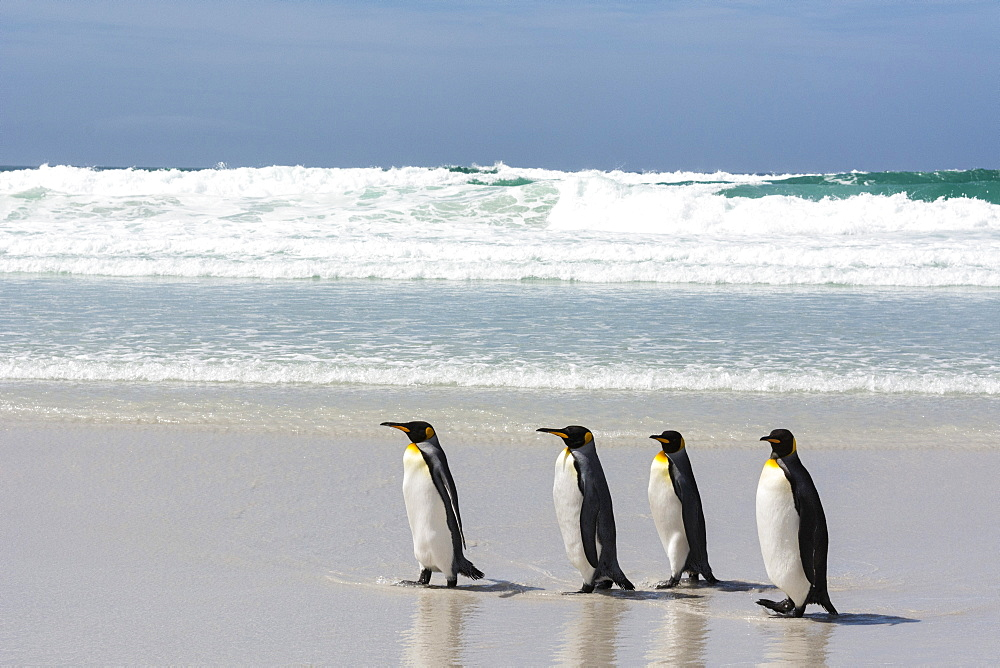 King penguin, Aptenodytes patagonica, on Volunteer Point beach.