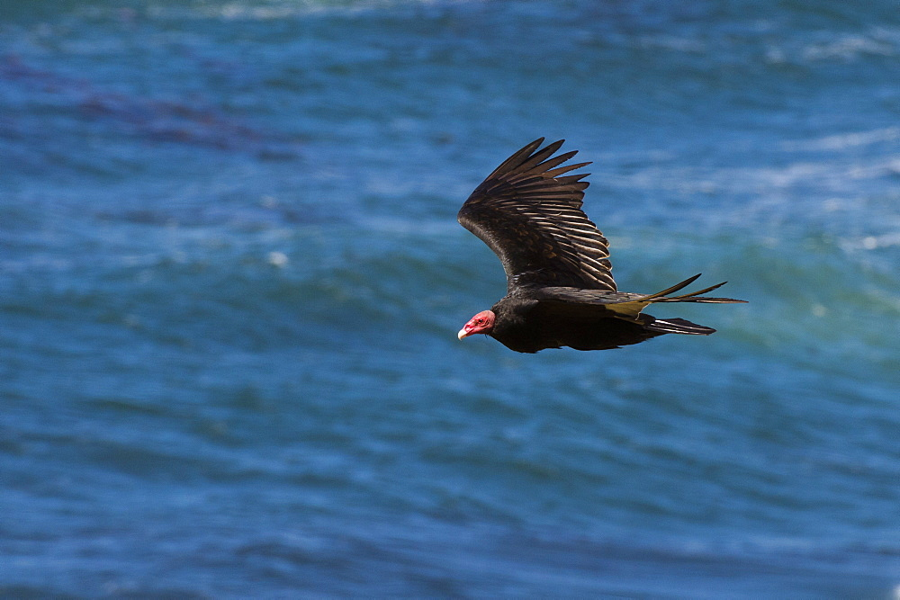 A turkey vulture (Cathartes aura) in flight, Falkland Islands, South America