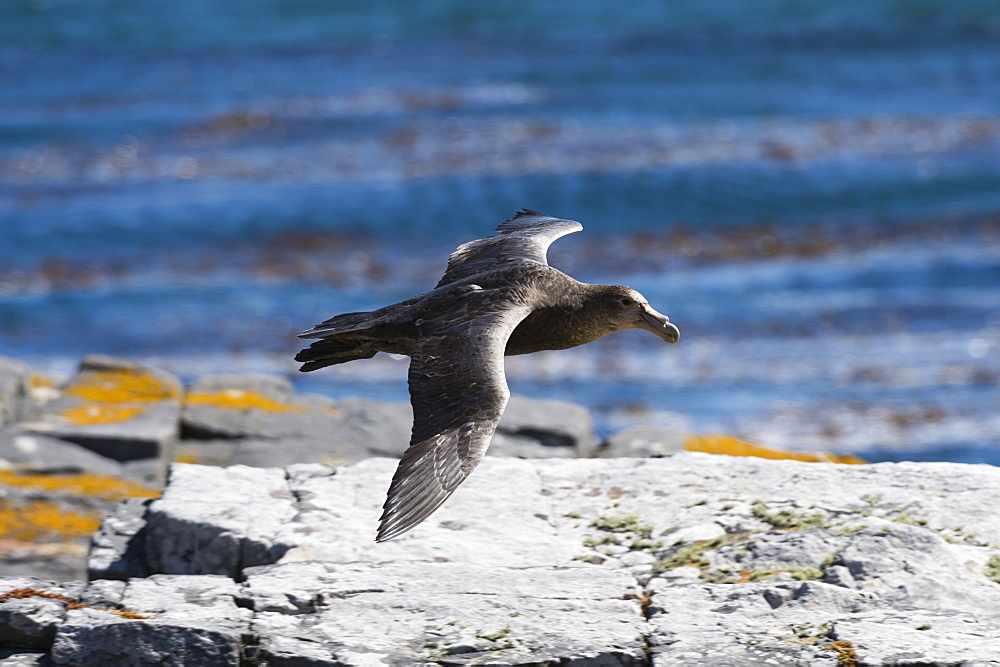 A southern giant petrel (Macronectes giganteus) in flight, Falkland Islands, South America