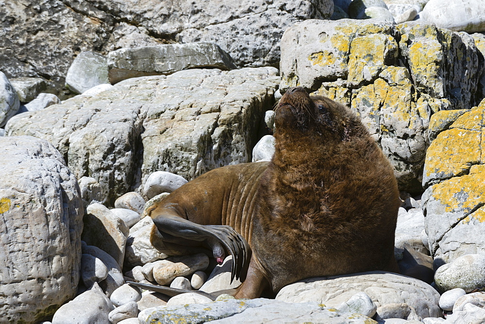 A male southern sea lion (Otaria flavescens), Falkland Islands, South America