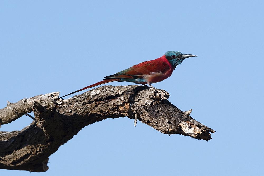 A northern carmine bee-eater (Merops rubicus) perching, Tsavo, Kenya, East Africa, Africa