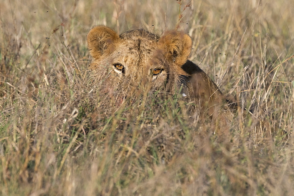 A lion, Panthera leo, hiding in tall grass, Tsavo, Kenya.