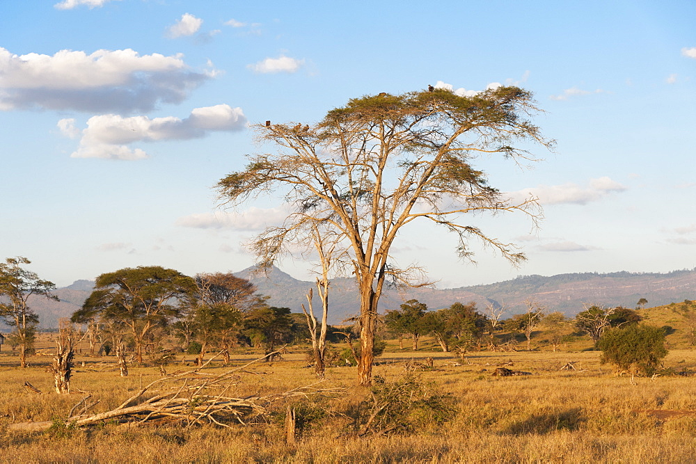 Trees in a plain in Tsavo, Tsavo, Kenya.